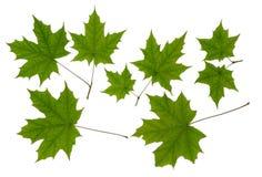 Grön bladlönn Royaltyfria Bilder