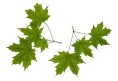 Grön bladlönn Arkivbilder