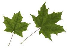 Grön bladlönn Fotografering för Bildbyråer