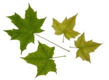Grön bladlönn Arkivfoton