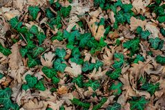 Grön bladlian i torra eksidor stock illustrationer
