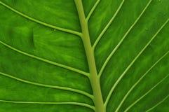 Grön bladmodell Royaltyfria Foton