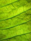 Grön bladmodell för Grunge Arkivfoton