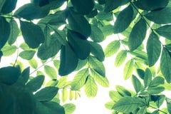 Grön bladmodell i kall signal på vit bakgrund, naturcrea arkivfoto