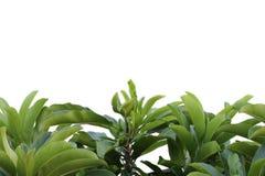Grön bladmodell på yttersidan med tropiska sidor på en whit fotografering för bildbyråer