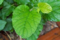 Grön bladmullbärsträd royaltyfria foton