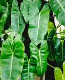 Grön bladonbackground royaltyfria foton