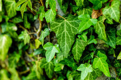 Grön bladpinne på väggen Arkivbilder