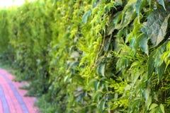 Grön bladstaketmakro Arkivfoton