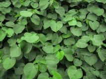 Grön bladtextur för bakgrund Fotografering för Bildbyråer