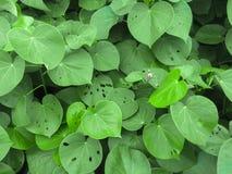 Grön bladtextur för bakgrund Arkivfoto