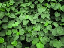 Grön bladtextur för bakgrund Arkivbild