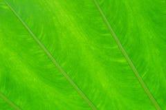 Grön bladtextur för bakgrund closeup för cell för abstrakt botanik för höstbakgrundsskönhet ljus Arkivbilder