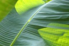 Grön bladtextur för banan Royaltyfri Fotografi