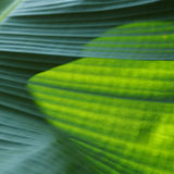 Grön bladtextur för banan Royaltyfria Foton