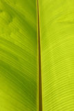 Grön bladtextur för banan Royaltyfri Bild
