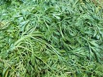 Grön bladtextur för morot Royaltyfria Bilder