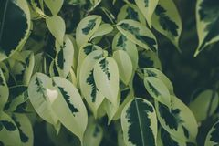 Grön bladtextur och bakgrund Övre sikt för slut av det gröna bladet green låter vara modellen Arkivfoto