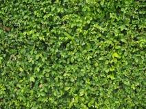 Grön bladvägg på det Siriraj sjukhuset arkivfoton