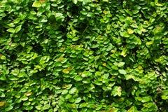 Grön bladväggbakgrund Arkivbilder
