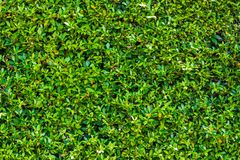Grön bladväggbakgrund Royaltyfri Foto