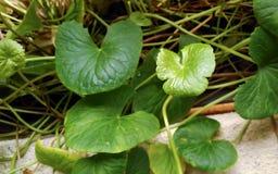 Grön bladväxt på trädgård Fotografering för Bildbyråer