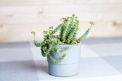 Grön blomma, Crassula Nealeana, sällsynt suckulent växt i en grå kruka, begrepp för hemmiljögarnering, enkel textilbakgrund arkivfoton