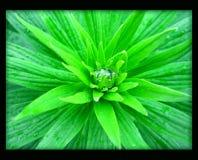 Grön blomma med vattendroppe i svart kanfasbakgrund fotografering för bildbyråer