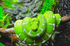 Grön boa Fotografering för Bildbyråer