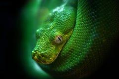 Grön boa i natur Arkivfoton
