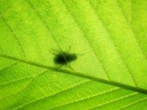 Grön bokträdleaf, (1) makro med flugan Arkivbild