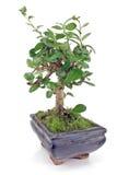 Grön bonsaitree Fotografering för Bildbyråer