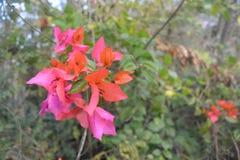 Grön bougainvilleaväxt med blommor Arkivbild