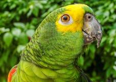 Grön brasiliansk papegoja Arkivbilder