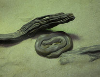 Grön burmese pytonorm Arkivfoton