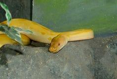 Grön Burmese pytonorm för albino (pytonormbivittatusen) Arkivfoton