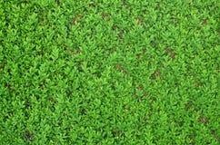 Grön buskagehäck på staketet fotografering för bildbyråer