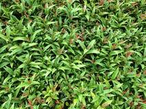 Grön buske arkivbild
