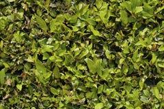Grön buske bakgrundsgreen låter vara väggen Royaltyfri Fotografi