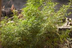 Grön buske för hampa i den indiska gården Royaltyfri Fotografi