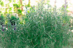 Grön buske för lavendel royaltyfria foton
