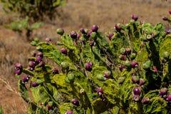 Grön buske för Opuntia med röda frukter royaltyfri bild