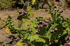 Grön buske för Opuntia med röda frukter arkivbild