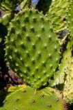 Grön buske för Opuntia med röda frukter royaltyfri foto