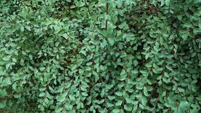 Grön buske i dagg stock video