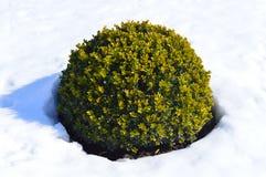 Grön buske i snön royaltyfria bilder