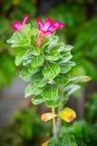 Grön buske med röda blommor Royaltyfria Foton