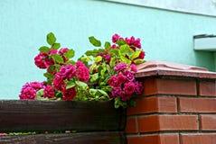 Grön buske med röda rosor på ett trä och tegelstenstaket Royaltyfri Foto