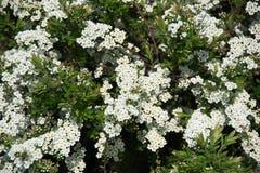 Grön buske med vita blommor på en vårdag fotografering för bildbyråer