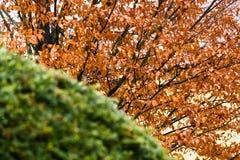 Grön buske och orange blad arkivbilder